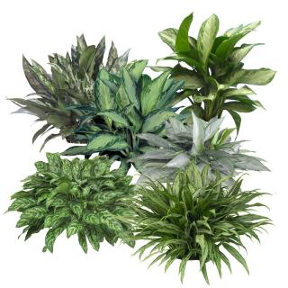 Assortment of Aglaonema indoor tropical plants