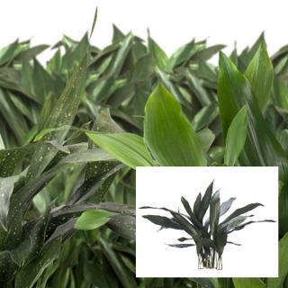 Aspidistra Cast Iron Plant selected varieties