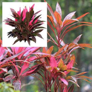 Cordyline selected varieties
