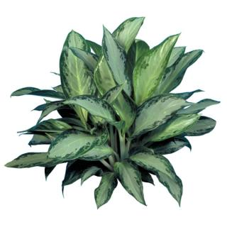 Aglaonema or Chinese evergreen 'Silver Bay'