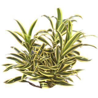 Dracaena reflexa variegata 'Song of India'
