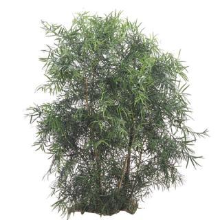 Weeping Podocarpus 'Podocarpus gracilior'