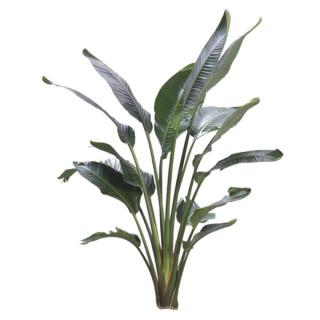 White Bird of Paradise 'Strelitzia nicolai'